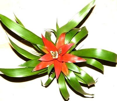 1 getopfte Bromelie für Terrarien und Paludarien, Topfpflanze, blühfähig von 2113 auf Du und dein Garten