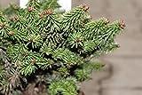 Balsamtanne 'Piccolo' - Kräftige Pflanze im 2 lt.-Topf, 15-20 cm