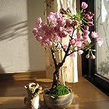 New Bonsai-Baum japanischen Sakura-Samen 10pcs Bunte Kirsche Pflanzen für Haus & Garten Schöne Blumen blühen