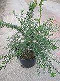 Berberis stenophylla - Schmalblättrige Berberitze - Dotterberberitze -