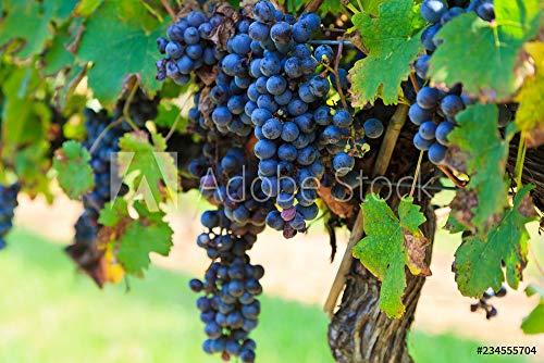 druck-shop24 Wunschmotiv: Grapes Ready to Harvest Hanging on a Grapevine #234555704 - Bild als Klebe-Folie - 3:2-60 x 40 cm / 40 x 60 cm