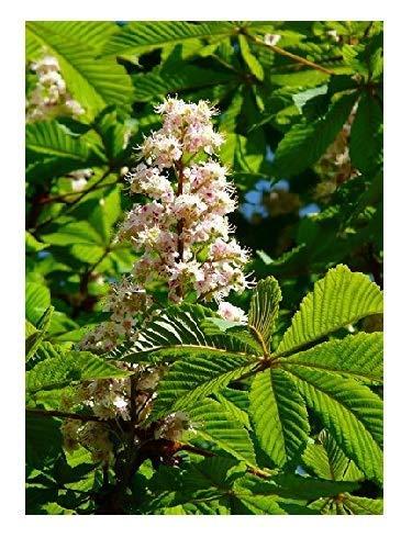 Rosskastanie Aesculus hippocastanum Pflanze 50cm Weiße Rosskastanie Kastanie