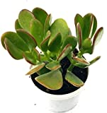 #5: Vamsha Nature Care Live Plant Crassula Ovata, 8