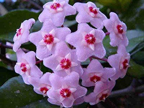 20 pc / sacchetto Semi di Hoya, palla di orchidee semi di fiori pianta perenne Hoya carnosa, semi di orchidee rare, piante in vaso bonsai per il giardino di casa