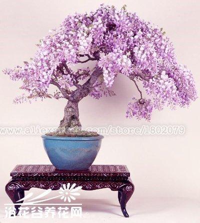 20pcs-rari-giapponesi-semi-di-albero-bonsai-glicine-semi-di-fiori-in-vaso-piante-ornamentali-perenni