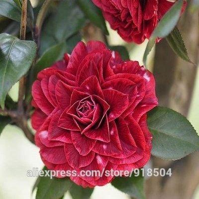 SVI 50 pièces/Sac, Fruits de la camélia, camélia Fleurs graines 24kinds de Couleurs au Choix Mostrar en imagen Rosé