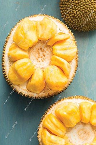 frutas-jaca-semillas-de-frutas-bonsai-semillas-de-arboles-frutales-semillas-organicas-pueden-jaca-5p