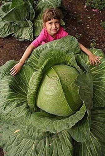 200Seeds rares géants Graines de chou russe, légumes de haute qualité pour la maison jardin