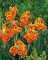 Canna, Blumenrohr Carnaval - Blumenzwiebel / Knolle / Wurzel von GardenSeedsMarket bei Du und dein Garten