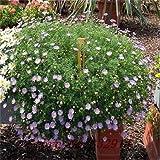 Multicolore: Saldi!100 semi di Argyranthemum Frutescens Marguerite Daisy Seeds Semi di fiori, così belli, fioritura lunga