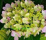 Heiß! 20 Farben 300 Hydrangea Samen / bag Hydrangea Blumensamen vergossen Geranien Balkon Hortensie Innenpflanzensamen