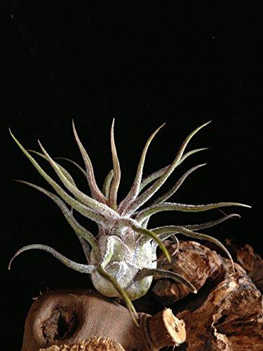 Zwei Pflanzen Seltene XL Wüsten Tillandsie pruinosa var. silver circa 15 cm Höhe