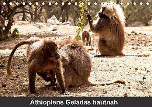 Äthiopiens Geladas hautnah (Tischkalender 2017 DIN A5 quer): Die nur im Hochland Äthiopiens vorkommenden Geladas (Blutbrustpaviane) beeindrucken 14 Seiten (CALVENDO Tiere)