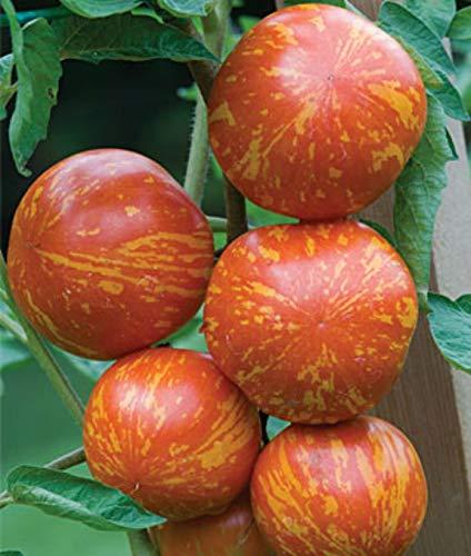 Portal Cool Red Zebra Tomaten-Samen! Mehr als 200 Arten von Tomaten In unserem Speicher! Comb S/H