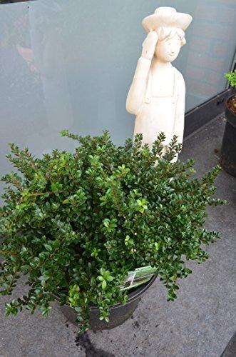 !NEUHEIT! japanische Hülse Ilex crenata Edens Paradise 25-30 cm im 5 Liter Pflanzcontainer