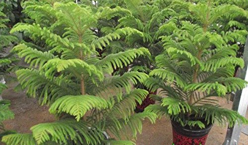 la-venta-caliente-20pcs-semillas-del-arbol-de-la-bahia-de-moreton-pino-raras-facil-de-cultivar-semil