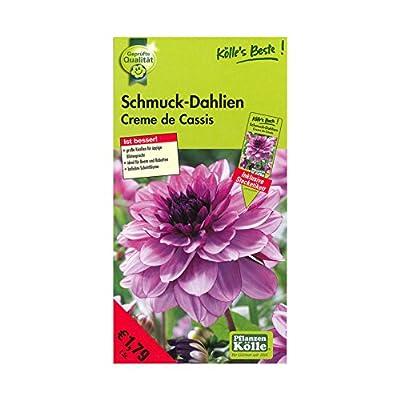 Schmuck-Dahlien Creme de Cassis - Blüten rosa/pink - Knollengröße 1 - 1 Knolle in der Packung - Kölle's Beste von Kölle's Beste - Du und dein Garten