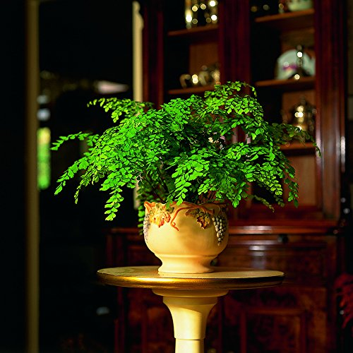maidenhair-fern-houseplant-for-indoor-use-ideal-for-use-on-windowsills-terrarium-and-bathrooms-minia