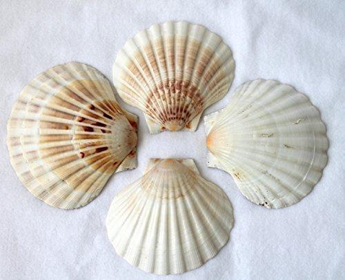4er Set Muschel Schalen Scallops Jakobsmuscheln 10-12cm
