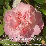 Kamelie 'Sweet Emily Kate' - Camellia japonica x Camellia lutchuensis, Grupo de precio:4