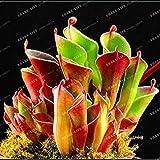 Perdita di promozione! 100PCS Heliamphora Semi minori carnivore piante Semi Bonsai piante Semi Per la casa Lithops Bonsai in vaso Forniture da giardino semi sul ghiaccio