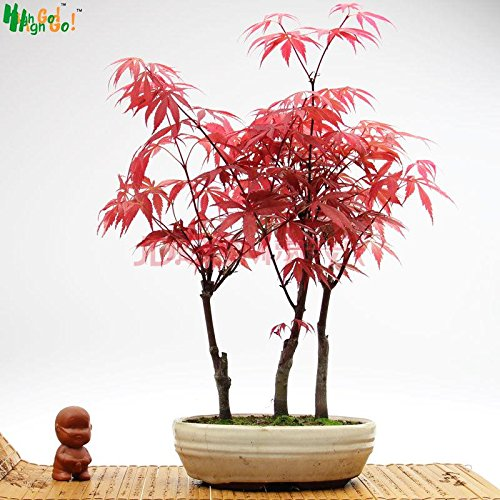 Japanese Red Maple Bonsai (Rare Tree Japanese Maple Flower Seeds Plants Potted Home Garden Springblade Seed Perfume Importado Jardin Rainbow Bonsai red)