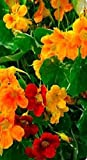 Just Seed - Flower - Nasturtium - Out of Africa - 100 Seed