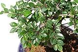 Ulmus Parvifolia Zwerg-Ulme, 10 Samen