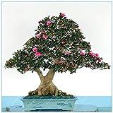 Pinkdose Versandkosten 100 Stück Snow White Bonsai Red Banana Tree Köstlicher Frucht in Ihrem Hinterhof Leicht wachsende Topfpflanze Garten Pot: 12
