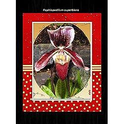 Paphiopedilum superbiens 2017: Orchid (English Edition)