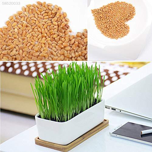 ic Green 800 Wheat Seeds Große sprießende Katze Hund Haustier Gras Treat Plant ()