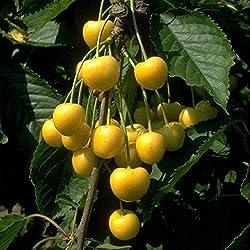 Obstbaum Kirsche Kirschbaum Busch Form gelb Dönnissens gelbe Knorpelkirsche - hochwertige Baumschul Qualität direkt vom Fachhändler
