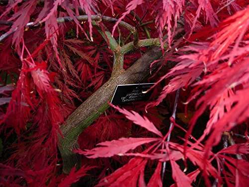 Tree Seeds Online Acer Palmatum Dissectum Dissect Purple Japanese