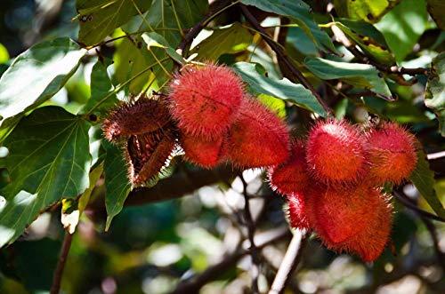 Portal Cool Annatto Lippenstift-Baum-Samen Culinary Dye No Frost oder Dürre