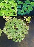 3er Set Schwimmpflanzen je 1x Muschelblume, Froschbiss, Wassernuss