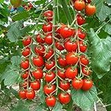 GEOPONICS Seme semi pomodori ciliegia (CONFEZIONE DI SEMI 50 X 10 PACKET) seme (500 per pacchetto)