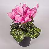 Set 2 x di Ciclamino artificiale in vaso, 12 fiori, rosa, 25 cm - 2 pezzi di Ciclamino decorativo / Pianta da interno - artplants