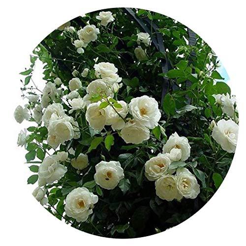 SummerRio 100Pcs Semillas Anuales Flores Exterior