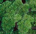 Petersilie Meister Moos 100 Samen von Samenfarm bei Du und dein Garten