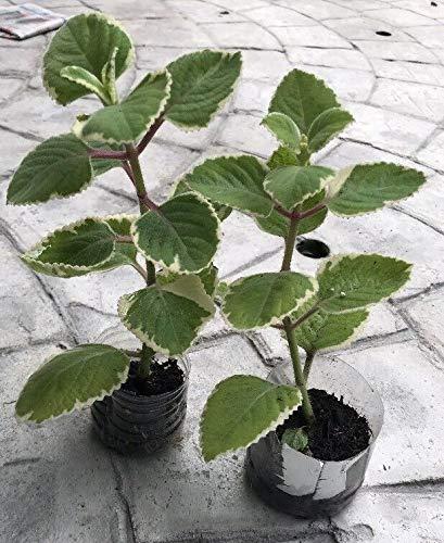 PLAT FIRM GERMINATIONSAMEN: LOT von 2 mexikanischen Oregano Pflanzen lebende Pflanzen (Mexikanischer Oregano Pflanze)