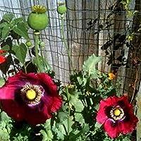 PlenTree Adormidera Pepperbox- 200 semillas