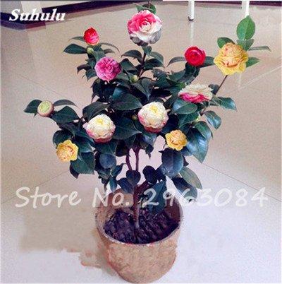 5 pièces rares Graines arc-en-Camellia fleurs, plantes en pot de bricolage, Lumière Parfumée Fleur intérieur, intérieur Bonsai planter des fleurs Semences 1
