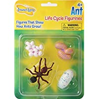 Life Cycle Stages Ant
