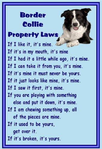border-collie-fridge-magnet-property-laws