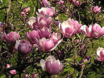 vegherb Untertasse Magnolien-Baum (Magnolia Soulangeana), 10 Samen