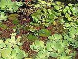 Mühlan - Pflanzenset für Teichkübel oder Miniteiche, Zwergseerose, Schwimmpflanzen, Wasserpflanzen, Sumpfpflanzen