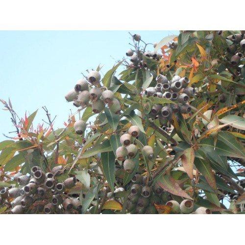 Preisvergleich Produktbild Abbey Essentials Lemon Eukalyptus ätherisches Öl