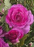 'Climbing Violette Parfumée' (R), Kletterrose im 4-Liter-Container