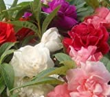 #10: Seedscare India alsam Camellia Mixed Flower Seeds Impatiens balsamina (Pack of 50)