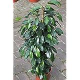 Planta de interior - Planta para la casa o la oficina - Ficus benjamina - Higuera llorona - 80 cm de alto - AHORA CON DESCUENTO